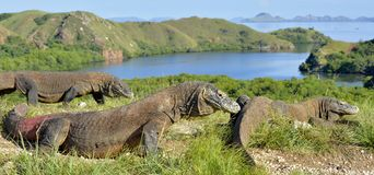 Komodo dragon. Varanus komodoensis in natural habitat. Biggest living lizard in the world. island Rinca. Indonesia royalty free stock photography
