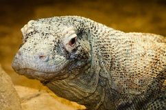 Komodo dragon, Varanus komodoensis Stock Photography