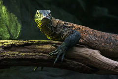 Komodo dragon (Varanus komodoensis) Royalty Free Stock Photography