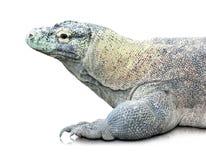 Komodo dragon or Varanus komodoensis. Portrait of Komodo dragon (Varanus komodoensis).  over white background Royalty Free Stock Images