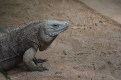 Komodo Dragon (Varanus komodoensis) Stock Images