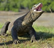 The Komodo dragon  Varanus komodoensis  raised the head and opened a mouth. It is the biggest living lizard in the world. Island Royalty Free Stock Photography