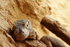Komodo dragon (Varanus komodoensis) resting Royalty Free Stock Images