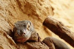 Komodo dragon (Varanus komodoensis) resting Royalty Free Stock Images