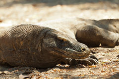 Komodo dragon, Varanus komodoensis, single lizard on floor, Indonesia Royalty Free Stock Photography