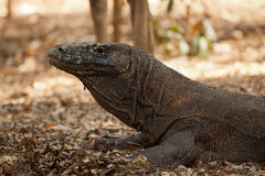 Komodo dragon, Varanus komodoensis, single lizard on floor, Indonesia Royalty Free Stock Photos