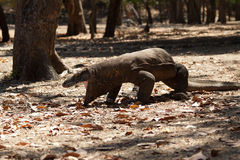 Komodo dragon, Varanus komodoensis, single lizard on floor, Indonesia Stock Image