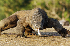 Komodo dragon, Varanus komodoensis Royalty Free Stock Photography