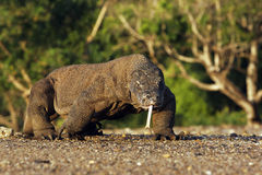 Komodo dragon, Varanus komodoensis Stock Photo
