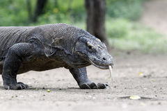 Komodo dragon, Varanus komodoensis Royalty Free Stock Images