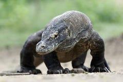 Komodo dragon, Varanus komodoensis Stock Image