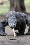 Komodo dragon, Varanus komodoensis Royalty Free Stock Image