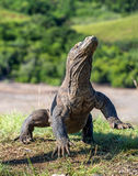 The Komodo dragon  Varanus komodoensis  stands on its hind legs Stock Photography