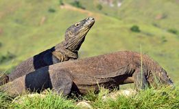 The Komodo dragon Varanus komodoensis stands on its hind legs. It is the biggest living lizard in the world. On island Rinca. In Stock Photo