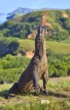 The Komodo dragon Varanus komodoensis stands on its hind legs Royalty Free Stock Photos