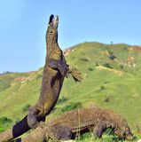 The Komodo dragon Varanus komodoensis stands on its hind legs and open mouth. It is the biggest living lizard in the world. On i Stock Photo