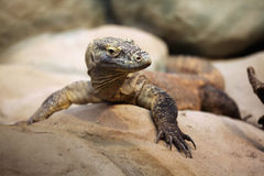 Komodo dragon (Varanus komodoensis). Royalty Free Stock Photos