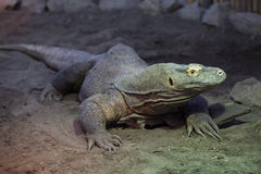 Komodo dragon (Varanus komodoensis). Royalty Free Stock Images