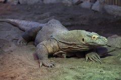 Komodo dragon (Varanus komodoensis). Wild life animal Royalty Free Stock Photos