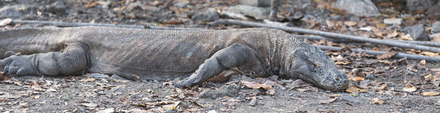 Komodo dragon Varanus komodoensis Stock Photography