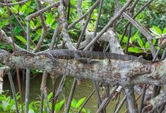 Komodo dragon (Varanus komodoensis). Wild life animal. Royalty Free Stock Photo