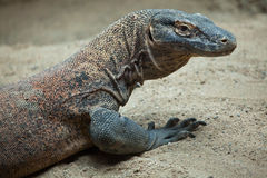 Komodo dragon (Varanus komodoensis). Stock Images
