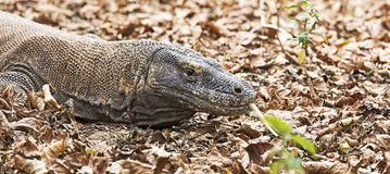 Komodo Dragon view Royalty Free Stock Image