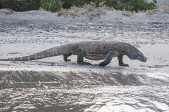 Komodo Dragon Walking en la playa Fotografía de archivo libre de regalías