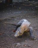 Komodo Dragon Walking Forwards stock image