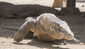 Komodo dragon walking with his tongue out. The dragon makes its move, walking towards the camera with his lizard tongue sticking out, feeling out the area Stock Photos