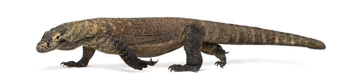 Free Komodo Dragon Walking, Isolated On White Stock Photos - 67205113
