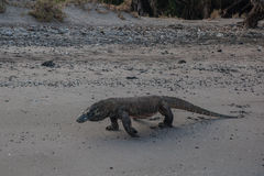 Komodo Dragon Walking Stock Photos