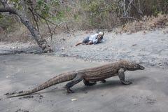Komodo Dragon Walks på stranden i Indonesien Arkivbilder