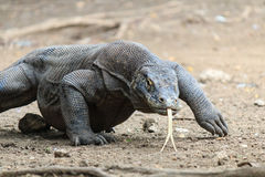 Komodo Dragon in the wild Stock Photo