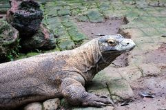 Komodo dragon in the wild on nature royalty free stock photography