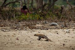 Komodo dragon youngster with local people in the beautiful nature habitat Royalty Free Stock Photography