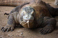 Komodo dragon in zoo. Komodo dragon at Taronga Zoo, Sydney, Australia Royalty Free Stock Images