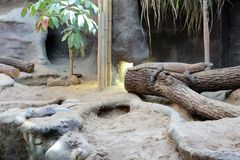 Komodo dragon at Zoo Praha royalty free stock photo