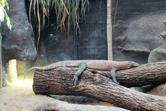 Komodo dragon at Zoo Praha Stock Photos