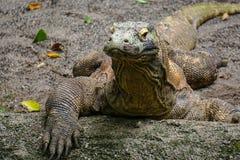 Komodo dragon at the zoo Stock Photography