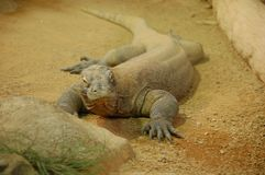 Komodo dragon in zoo stock photography