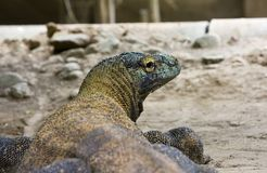 Komodo dragons Stock Photo
