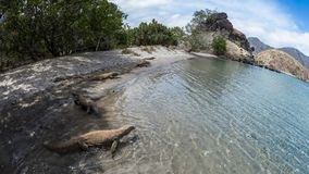 Komodo Dragons on a beach. Hungry Komodo Dragons on a beach on Rinca Island; with cloudy blue sky, arid forest and clear turquoise water in the background stock photos