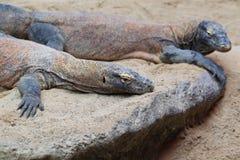 Komodo dragons Stock Images