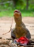 Komodo dragons eat their prey. Indonesia. Komodo National Park. Royalty Free Stock Photos