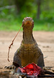Komodo dragons eat their prey. Indonesia. Komodo National Park. Royalty Free Stock Photo