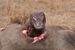 Komodo dragons eating wild buffalo Stock Photography