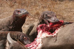 Komodo dragons eating wild buffalo Stock Images