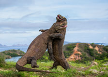 Komodo Dragons are fighting each other. Very rare picture. Indonesia. Komodo National Park. Royalty Free Stock Image