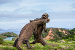 Komodo Dragons are fighting each other. Very rare picture. Indonesia. Komodo National Park. Stock Images